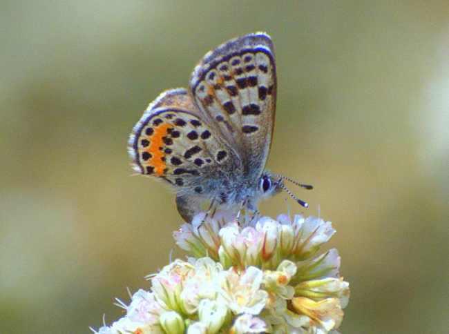 El-Segundo-Blue-Butterfly