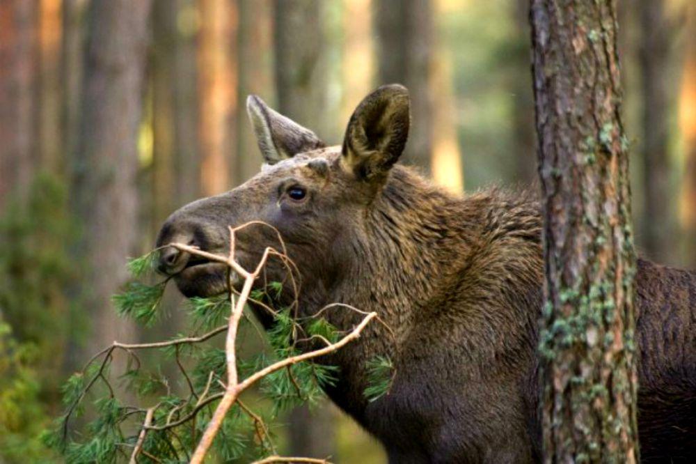 Eurasian-Elk-aka-Moose-Eating-Czech-Republic