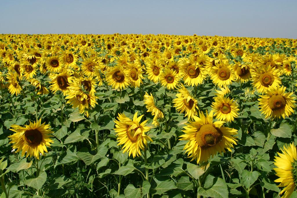 Field-of-Sunflowers-Photo-1
