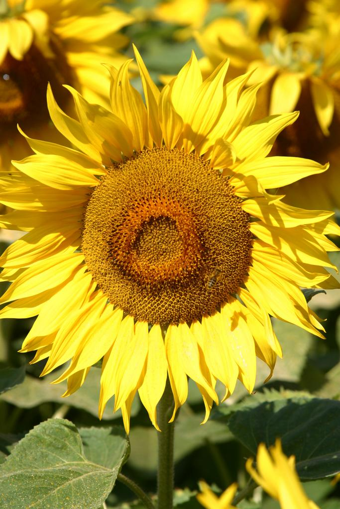 Field-of-Sunflowers-Photo-10