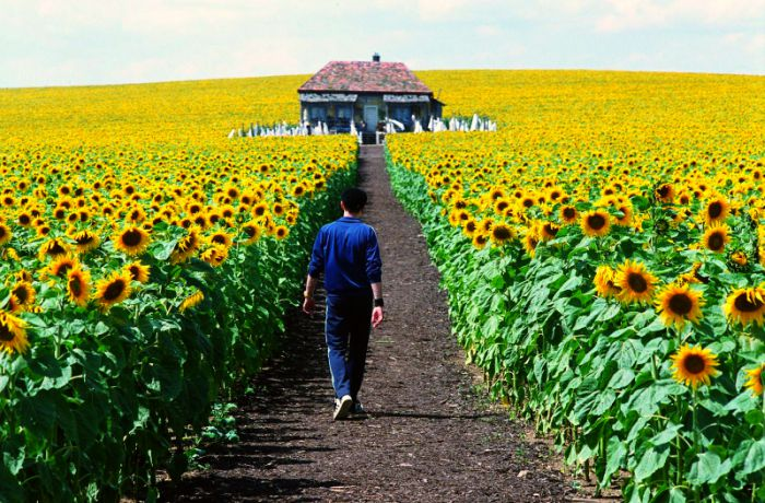 Field-of-Sunflowers-Photo-13