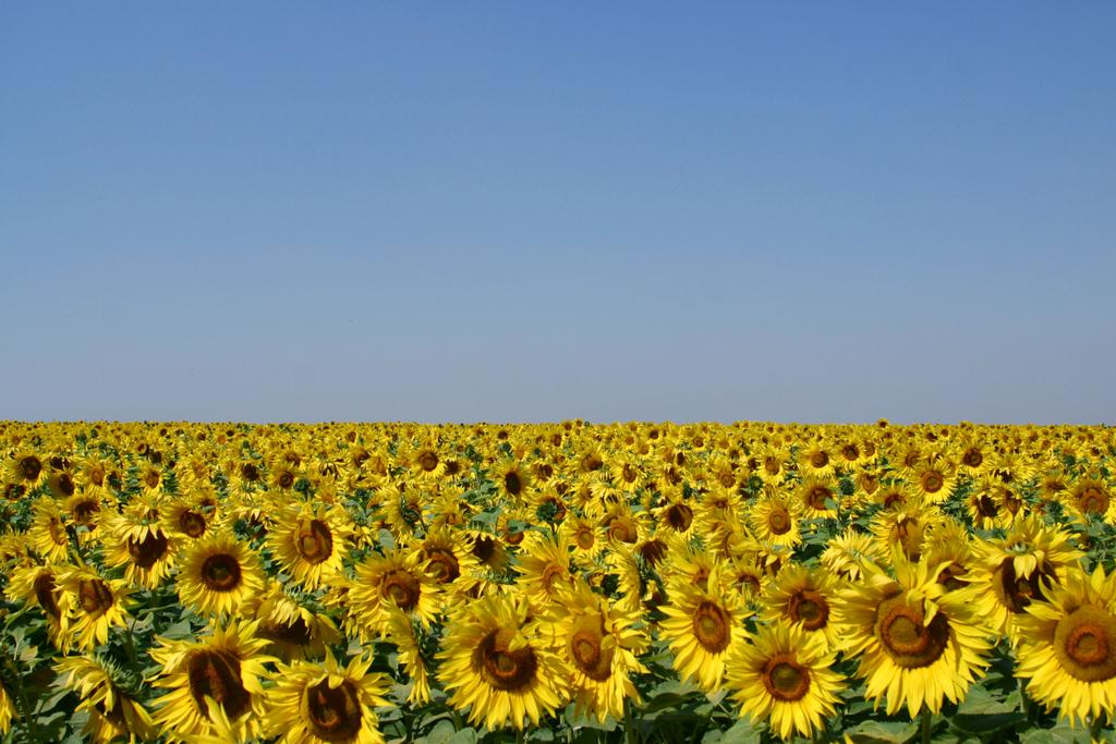 Field-of-Sunflowers-Photo-3