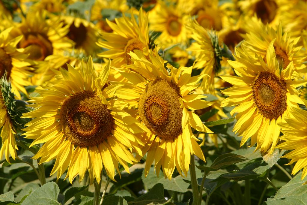 Field-of-Sunflowers-Photo-4