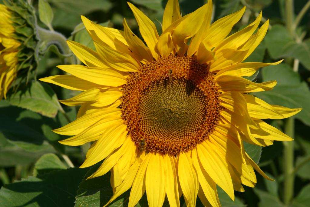 Field-of-Sunflowers-Photo-5
