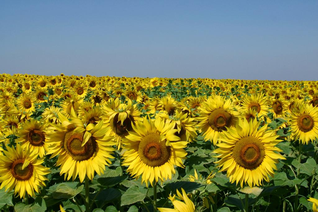 Field-of-Sunflowers-Photo-6