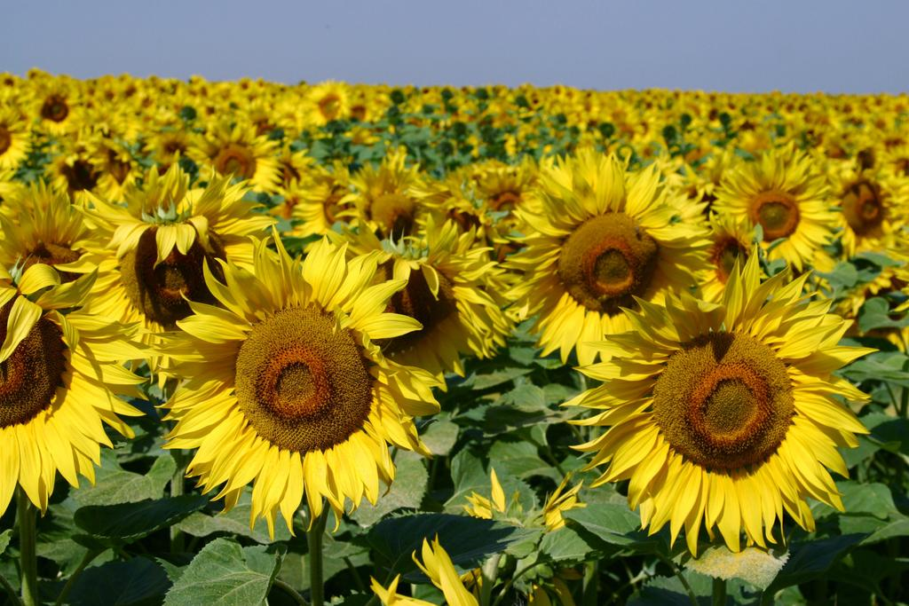 Field-of-Sunflowers-Photo-7
