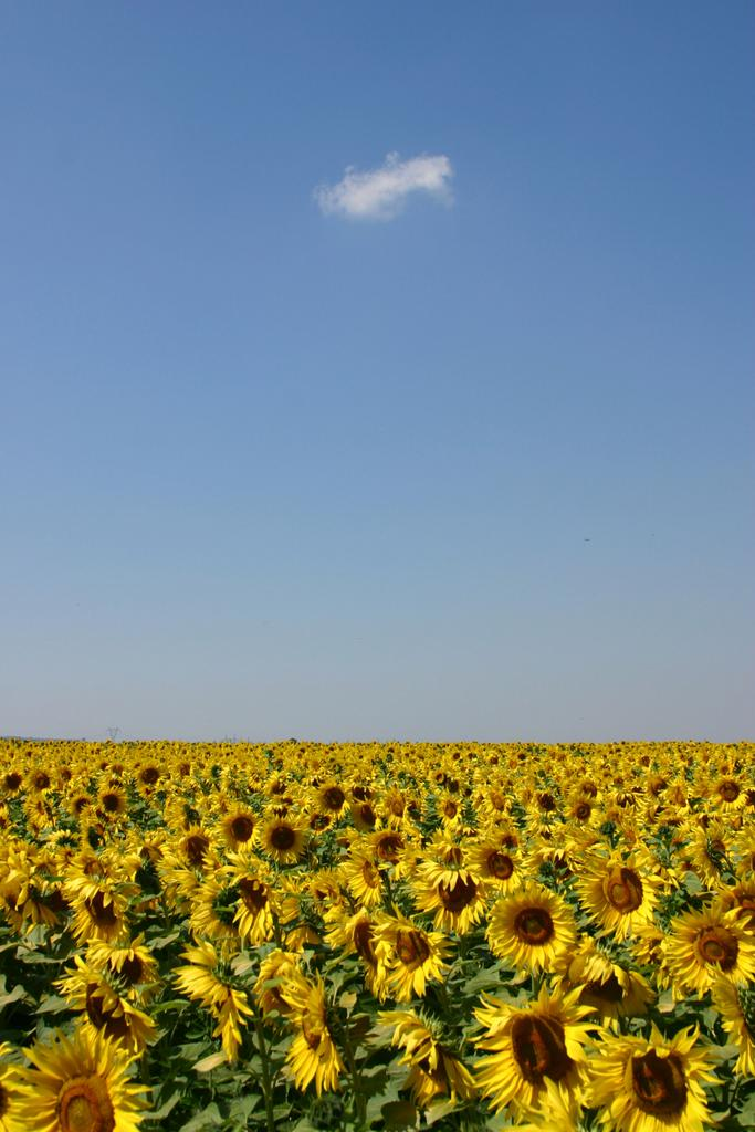 Field-of-Sunflowers-Photo-8