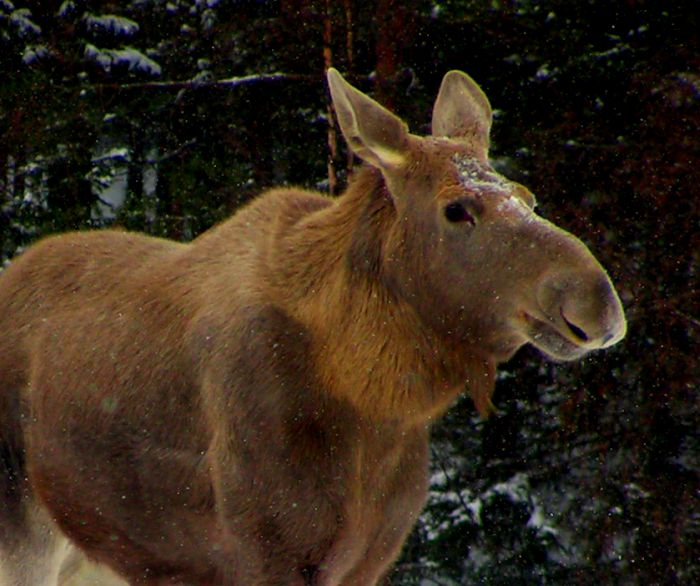 Moose-in-Czech-Republic-Bohemia