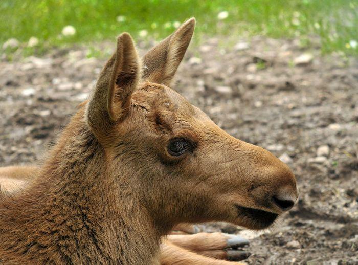 Young-Moose-in-Czech-Republic-Bohemia