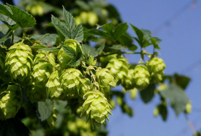 Bohemian-Saaz-Hops-from-Czech-Republic