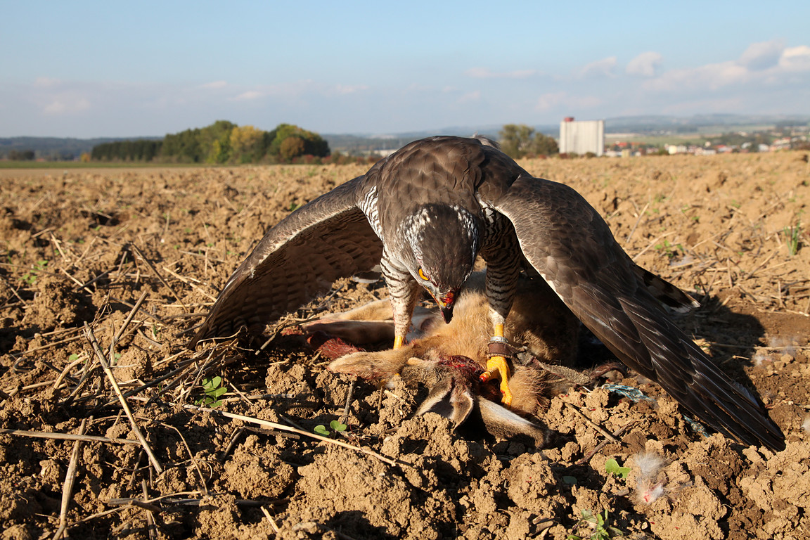 Czech-Falconry-Birds-Hunting-Bohemian-Photo-127