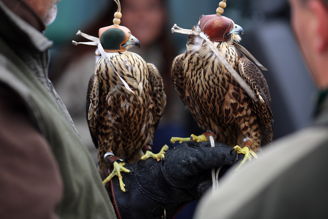Czech-Falconry-Birds-Hunting-Bohemian-Photo-24