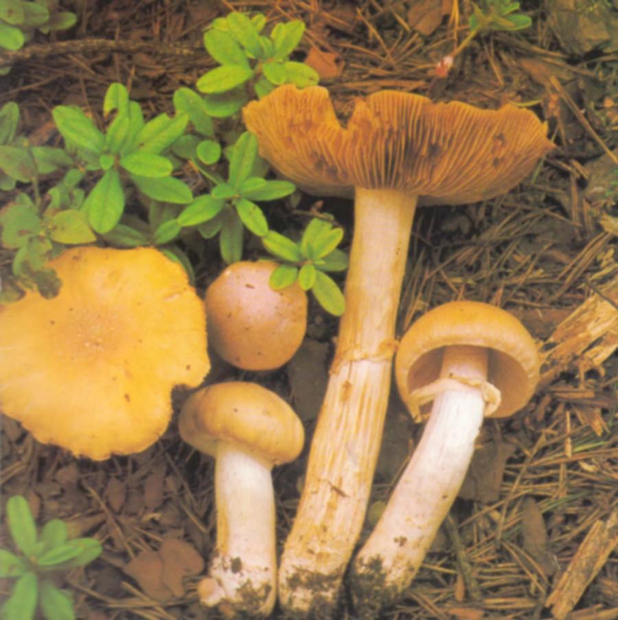 Gypsy Mushroom