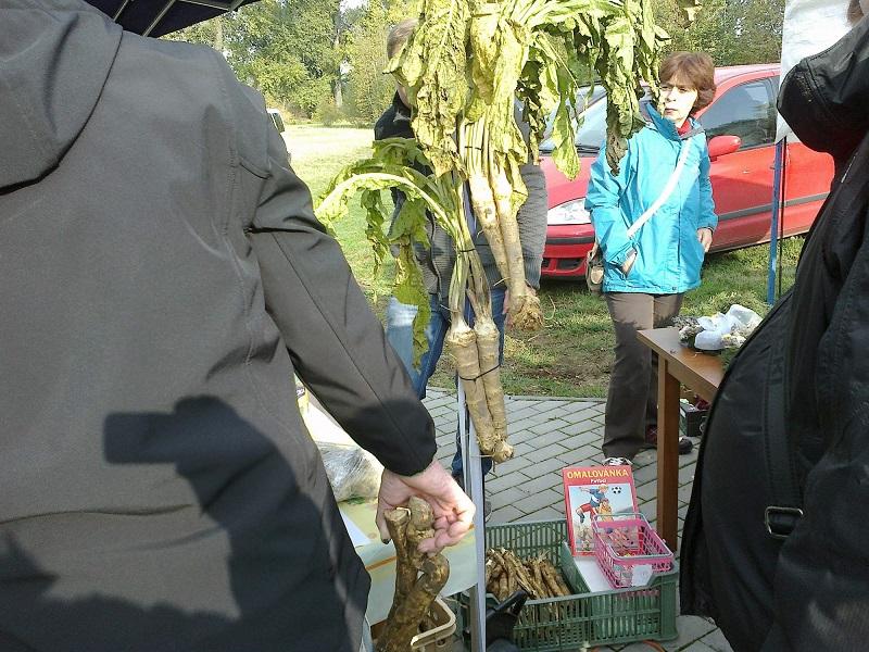 Horse Radish Culture in Bohemia